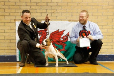 Staffordshire Bullterrier Kennel  Red White Pied Championshow in Cardiff South Wales