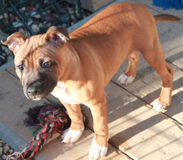 Staffordshire Bullterrier  Red White Pied  My Darling