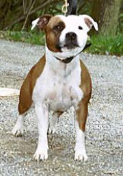 Staffordshire Bullterrier Kennel  Red White Pied