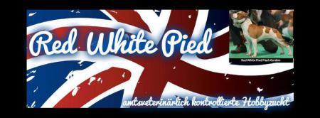 Staffordshire Bullterrier Red White Pied Flash Gordon