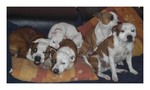 Staffordshire Bullterrier Kennel  Red White Pied